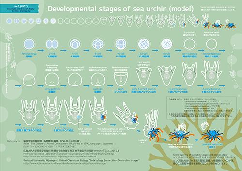 sea_urchin_developmental_stages.jpg